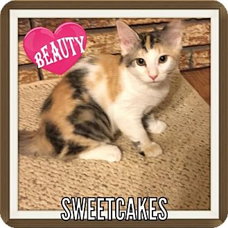Calico Kitten for adoption in Hammond, Louisiana - Sweetcakes
