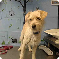 Terrier (Unknown Type, Small) Mix Dog for adoption in San Bernardino, California - URGENT on 10/6 SAN BERNARDINO