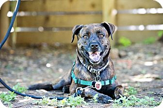 Hound (Unknown Type)/Pit Bull Terrier Mix Dog for adoption in Houston, Texas - Willow