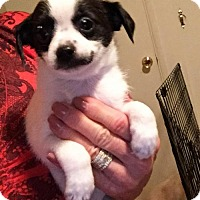 Terrier (Unknown Type, Small)/Chihuahua Mix Puppy for adoption in Santa Clarita, California - Riley