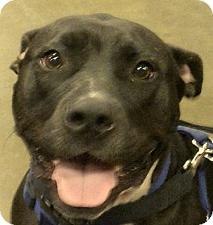 American Staffordshire Terrier/Rhodesian Ridgeback Mix Dog for adoption in Newnan, Georgia - Lucy