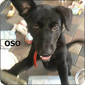 Australian Kelpie/Labrador Retriever Mix Puppy for adoption in El Cajon, California - Oso