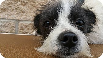 Terrier (Unknown Type, Small) Mix Dog for adoption in Marion, Indiana - Spot