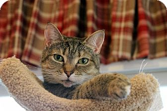 Domestic Shorthair Cat for adoption in Gaithersburg, Maryland - Moxie