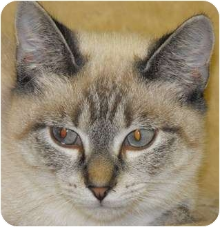 Siamese Cat Rescue Yorkshire