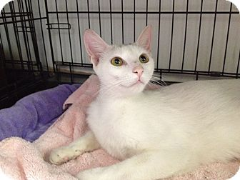 American Shorthair Cat for adoption in Island Park, New York - Blanca