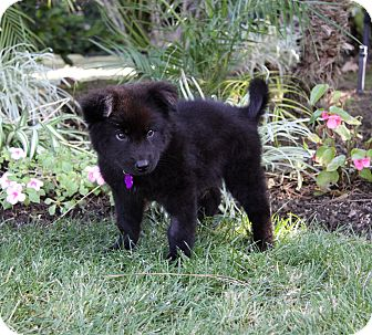 chow chow border collie mix - photo #24