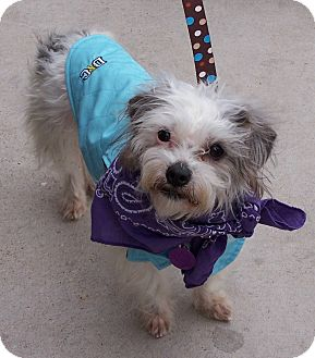 Terrier (Unknown Type, Small) Mix Dog for adoption in San Angelo, Texas - Fondu