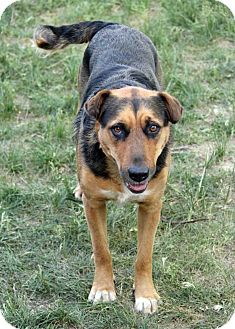 Shepherd (Unknown Type)/Doberman Pinscher Mix Dog for adoption in Westminster, Colorado - Sammy