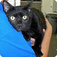 Domestic Shorthair Cat for adoption in Brooklyn, New York - Bartholemew
