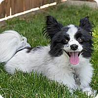 Adopt A Pet :: Oreo - Seattle, WA