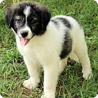 Adopt A Pet :: Alexander - Brattleboro, VT