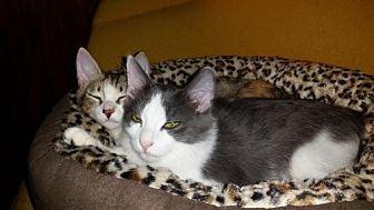 Domestic Shorthair Kitten for adoption in Satellite Beach, Florida - Little Bit