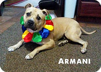 American Pit Bull Terrier Dog for adoption in Cary, Illinois - Armani
