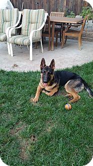 German Shepherd Dog Mix Puppy for adoption in Walnut Creek, California - Maxwell