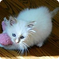 Adopt A Pet :: Ashton - Davis, CA
