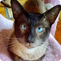 Siamese Cat for adoption in Brooklyn, New York - Sinatra: Sensitive Siamese Stunner