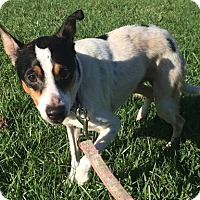 Rat Terrier Mix Dog for adoption in Livonia, Michigan - Roger