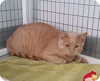 American Shorthair Cat for adoption in Medfield, Massachusetts - Butler