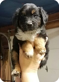 Australian Shepherd Mix Puppy for adoption in Laingsburg, Michigan - Lennon