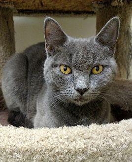Domestic Shorthair Kitten for adoption in Carlisle, Pennsylvania - MissKitty