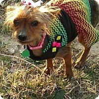 Adopt A Pet :: Bella (Yorkie) - Fort Worth, TX