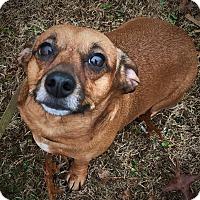 Dachshund Mix Dog for adoption in Decatur, Georgia - Kiki