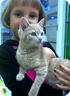 Domestic Shorthair Kitten for adoption in Patterson, New York - Sandy