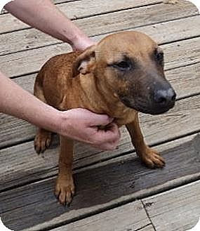 Shepherd (Unknown Type)/Labrador Retriever Mix Dog for adoption in Crescent, Oklahoma - Little Girl 1