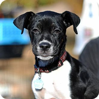 Boston Terrier/Dachshund Mix Puppy for adoption in Milton, Georgia ...