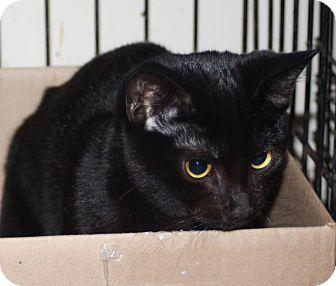 Domestic Shorthair Cat for adoption in LEXINGTON, Kentucky - DESTINY'S CHILD