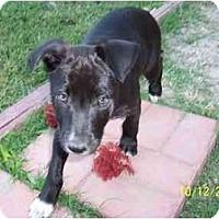 Adopt A Pet :: Frankie - Arlington, TX