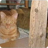 Adopt A Pet :: Andy Kitten - LUVbug - Cincinnati, OH