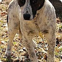 Adopt A Pet :: Ashton - Brattleboro, VT
