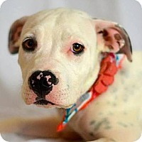 Adopt A Pet :: Lovey - Gilbert, AZ