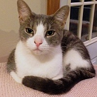 Domestic Shorthair Cat for adoption in Wayland, Michigan - Luigi