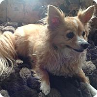 Adopt A Pet :: Foxy - Chewelah, WA