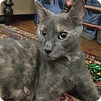 Adopt A Pet :: Josie, the Pussycat Kitten Mama - Brooklyn, NY