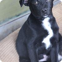 Adopt A Pet :: Packard-great w/kids-meet him - Woonsocket, RI