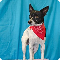 Rat Terrier/Fox Terrier (Smooth) Mix Dog for adoption in Poteau, Oklahoma - PEPPER