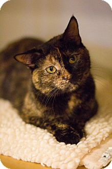 Domestic Shorthair Cat for adoption in Grayslake, Illinois - Mardi Gras