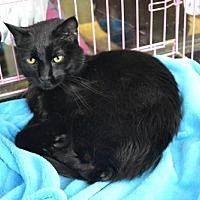 Domestic Shorthair Cat for adoption in Akron, Ohio - Oden