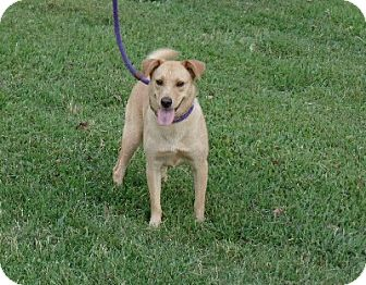 Golden Retriever/Shiba Inu Mix Dog for adoption in Great Falls, Virginia - Norma Jean