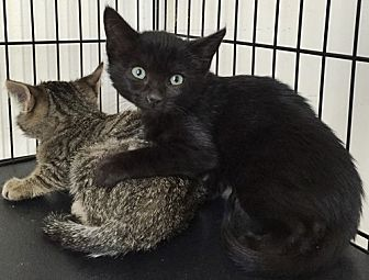 Domestic Shorthair Kitten for adoption in Santa Fe, New Mexico - Damaris