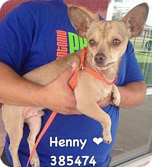 Chihuahua Dog for adoption in San Antonio, Texas - 385474 Henny