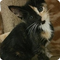 Calico Kitten for adoption in Yorba Linda, California - Halsey