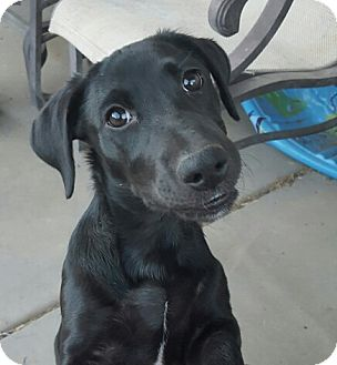 Labrador Retriever Mix Puppy for adoption in Surprise, Arizona - Casey