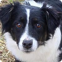 Adopt A Pet :: Adele - Colorado Springs, CO