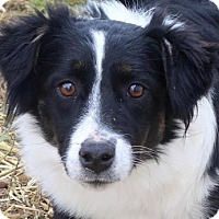 Australian Shepherd Dog for adoption in Colorado Springs, Colorado - Adele