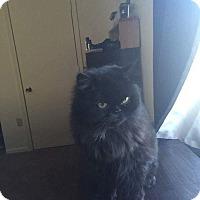 Adopt A Persian Cat Massachusetts